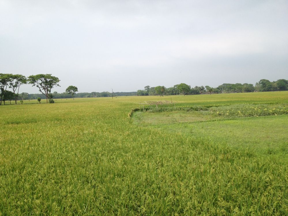 Paddy Field @Bashna, Mymensingh