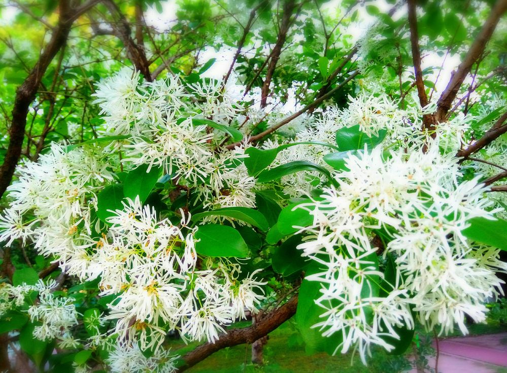 Local guides connect sweet smelling re the snow white flower tree re the snow white flower tree mightylinksfo