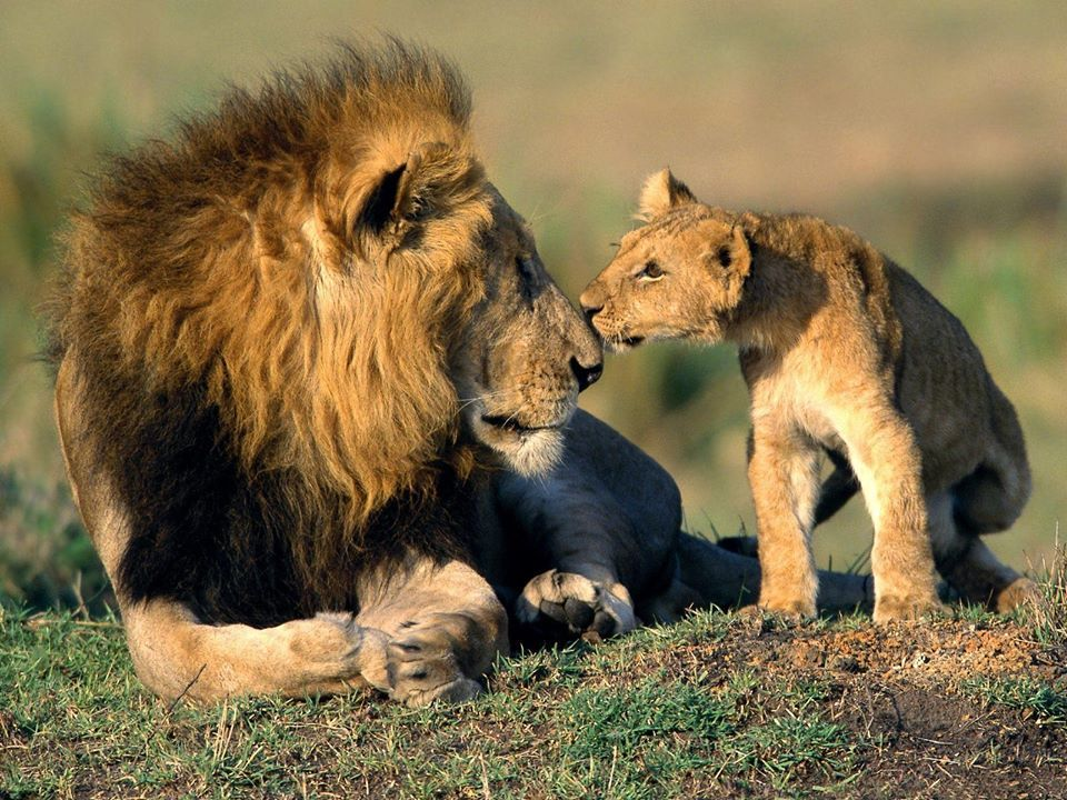 gir-national-park-lion.jpg