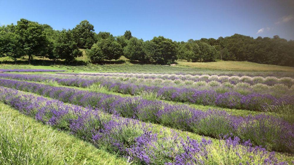 Local Guides Connect - Lavenlair Lavender Farm - Local