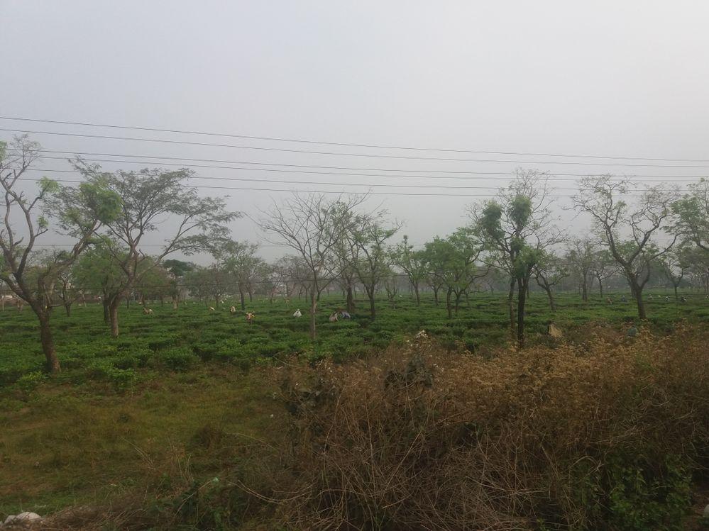 Tea Garden Near Damak