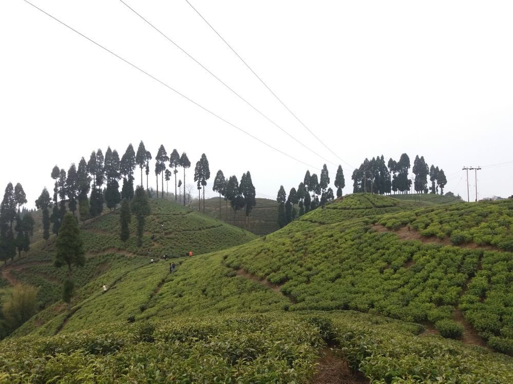 Tea Garden @ Mirik