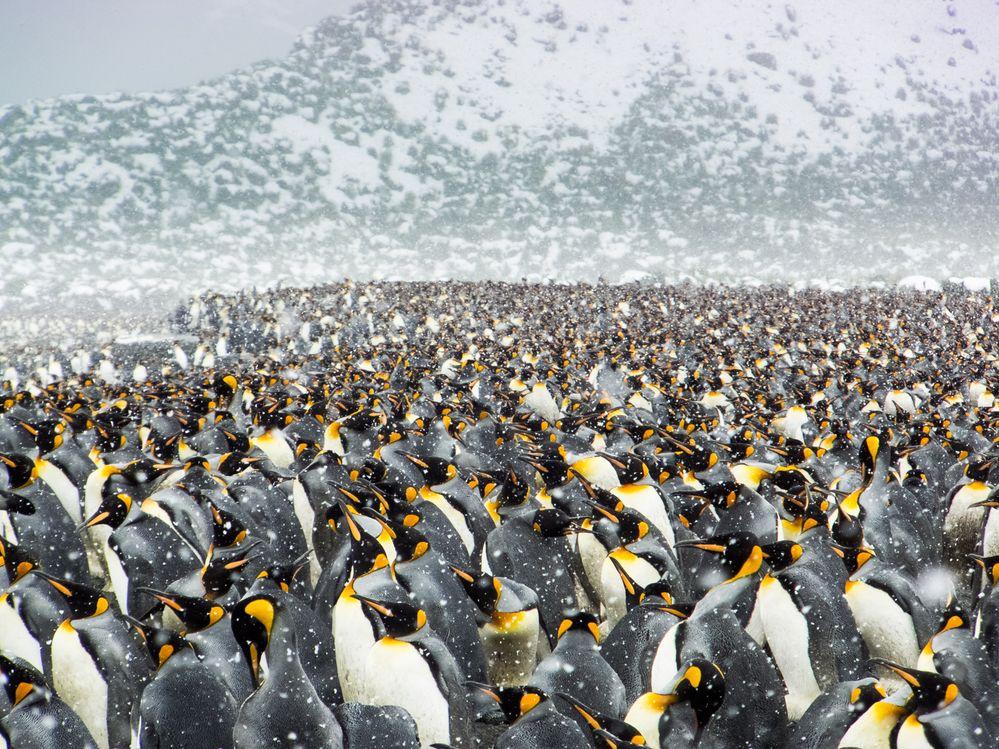 Frozen Penguines
