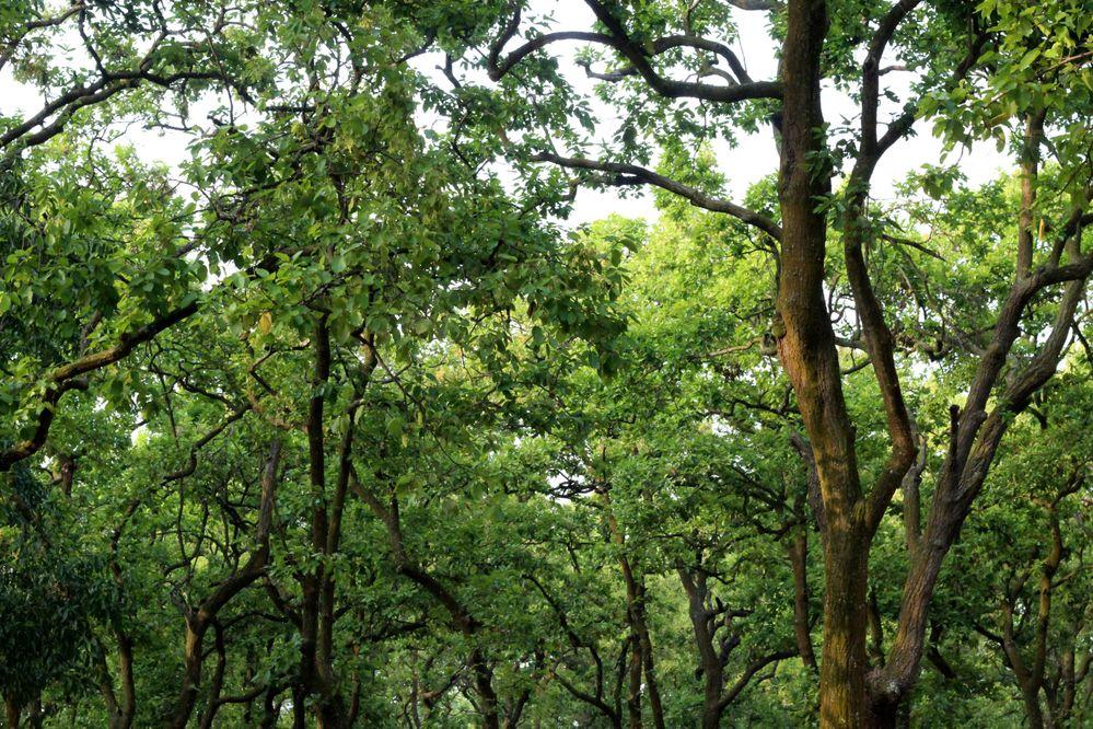 Shal Tree