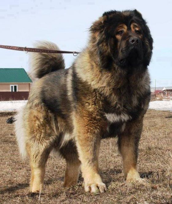 Bolshoi Dog Breed